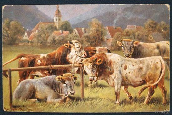 Быки и коровы 1911 г