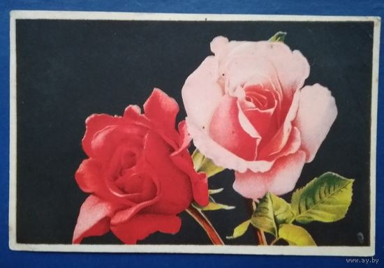 Розы. Октообер. Таллин. 1953 г. Чистая.