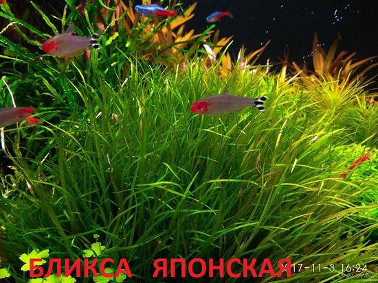 АКВАРИУМНЫЕ РАСТЕНИЯ: Бликса японская. НАБОРЫ растений для запуска. ПОЧТОЙ и МАРШРУТКОЙ отправлю.