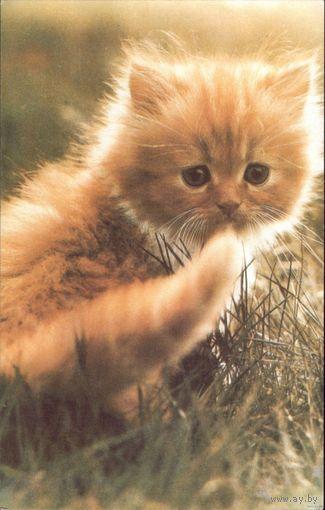 Котёнок Молдавия